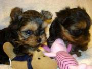 Two Healthy Teacup Yorkie puppies (715) 248-2965