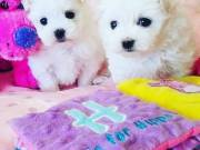 Gorgeous Maltese puppies Text or call me at ( 858) 304 0919