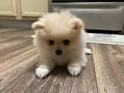 adorable Pomeranian ready to go text 7864081350