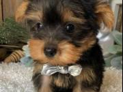 Sweet male and female yorkie text at (509) 596-0473
