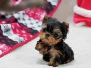 Healthy Teacup Yorkie Puppies Now Available.