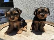 2 Beautiful teacup Yorkie Male & Female pups (715) 248-2965