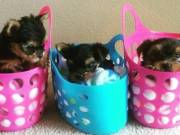 Text//14432672189 We have Maltese and yorkie puppie for sell