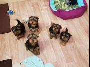 ♥♥♥Male and Female Yorkie Puppies available now♥♥♥