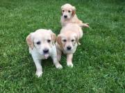 Golden Retriever Puppies For New Homes
