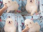 Awesome Teacup Pomeranian Pups For Adoption.Text(970) 343-8486