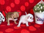charming miniature chihuahua puppies ready for their new home