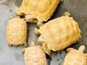 100% het. Albino Sulcata Tortoises .