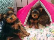 We have male and female Teacup puppies Call free insurance.(563) 292-6528