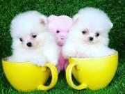 Pomeranian Puppies +1 410 855 4361