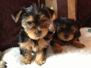 Two Adorable YORKIE puppies (715)248-2965