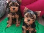 ♥♥♥Two Adorable Teacup Yorkie puppies♥♥♥ (715)248-2965