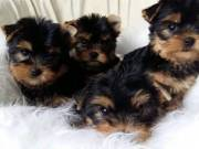 ♥♥♥ Stunning Yorkie Puppies ready to go to new homes♥♥♥