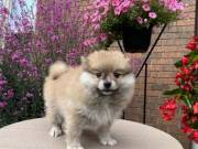 Pomeranian puppies for adoption male,female Text or call (865-294-7982)