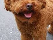 sweet Poodle Puppies for adoption