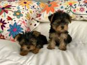 Healthy Yorkie babies & Two teacup sizes available  (970) 343-8486