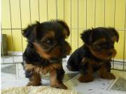 Two Precious Yorkie Pups  ((715) 248-2965