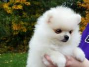 Available Pomeranian Pups For adoption