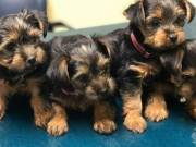 ♥♥♥ Absolutely Happy Yorkies for adoption♥♥♥