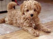 HEALTHY ADORABLE POODLE PUPPIES FOR ADOPTIONS