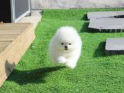 Baby pomeranian puppy for adoption text/call (970) 343-8486