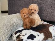 healthy sweets adorable Poodle Puppies For adoptions