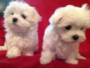 Two Adorable Maltese Puppies 100% Healthy For Adoption