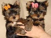 absolutely Healthy Yorkie Puppy