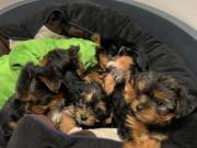 amazing yorkshire terrier puppies for adoption