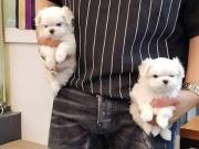 Teacup  trained Malttes puppies male & female for adoption +1(973) 283-5011