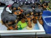 Affectionate Teacup Male and Female Yorkie puppies.