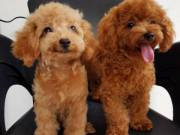 Adorable male and female poodle puppies