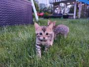 Beautiful Bengal Kitten (Max & Lily) text. (424) 234-7260