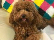 Gorgeous Toy Poodle Puppies~ SUPERB QUALITY for adoption