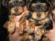 Potty trained teacup yorkie puppies for adoption+13159295943