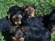 2 Potty trained teacup yorkie puppies for adoption +1{315}929-59