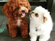 Adorable male and female poodle puppies for   adoption