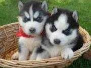 Cute Male and Female Siberian Husky Puppies for adoption.Text +1(408) 461-5579)