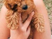 sweet adorable poodle puppy for adoptions