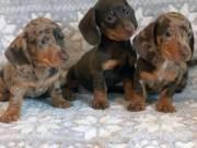 Beautiful Miniature Dachshund Puppies 3 Available