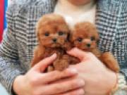 Cute Poodle Puppies male and female for adoption