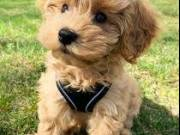 healthy sweets adorable teacup Poodle Puppies For adoptions