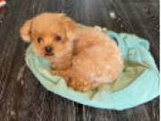 HEALTHY ADORABLE POODLE PUPPIES FOR ADOPTION