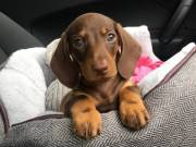 sweet  male Dachshund female home