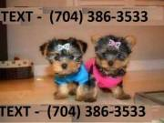 3 months old male and female Yorkie puppies very friendly