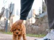 healthy sweets adorable toy Poodle Puppies For adoption for good home
