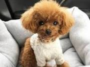 healthy sweets adorable Poodle Puppies For adoptions for good home