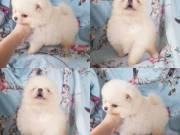 6 Super cute tiny teacup pomeranian puppies for sale!
