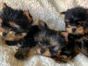 Fantastic Yorkie puppies available..
