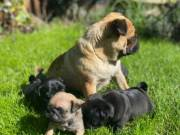 pug puppies for rehomming